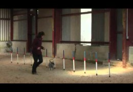 Miniature Schnauzer Crufts Dog Agility Relay Qualifiers