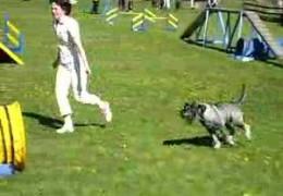 Hugo the Standard Schnauzer Masters Dog Agility