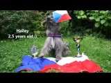 You will be Wowed by this Junior Dog Agility Handler