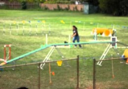 This Scottish Terrier has fun with Dog Agility
