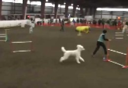 Wow! This Standard Poodle is Crazy Fast in Dog Agility