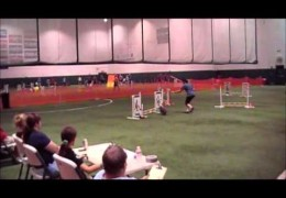 Abby the Dog Agility Toy Poodle Earns a Double Q