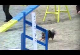 Buzz the Pomeranian Slays These Dog Agility Courses