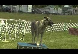 Sollie Loving UKC Dog Agility