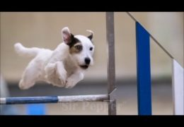 Parson Russel Terrier Eats up Dog Agility