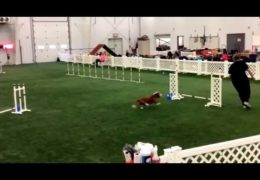 Redford the Basset Hound is an Awesome Agility Dog
