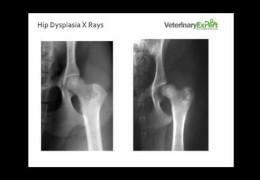 Andrew Explains Hip Dysplasia in Dogs