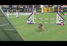Outstanding Small Dog Agility Runs in the Rain