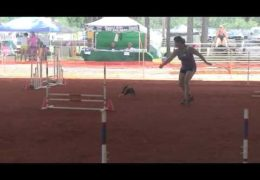 Boston Terrier Sheeva Lovin' Dog Agility