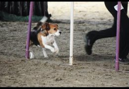 Beagle Dona Earns 1st Place in Dog Agility