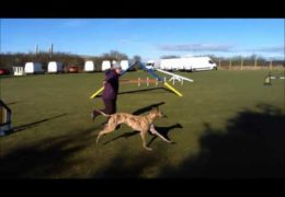 Grace is one Talented Galgo in Dog Agility