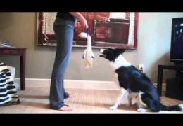 Using Tug Play for Impulse Control in Your Agility Dog