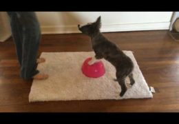 Puppy Rear End Awareness Exercises