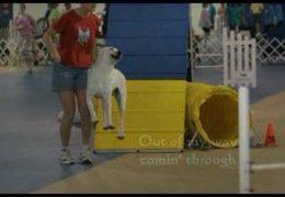 Meet Jax, aka Sir-Barks-a-Lot, the Dog Agility Labrador
