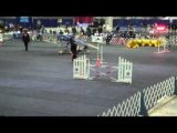 Bluetick Coonhound Loving Dog Agility