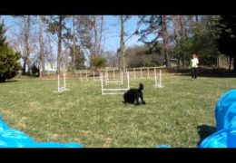 Diego the Dog Agility Poodle at Home
