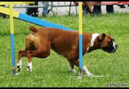Stunning Boxer Earns Championship in Dog Agility