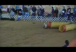 Boxer Niki Crushing AKC Dog Agility