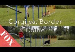 Corgi vs. Border Collie in Dog Agility