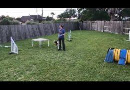 Teach Your Dog to Stay on the Agility Table