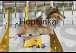 Hopsinka a Very Talented Agility Collie
