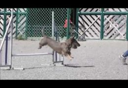 This Wire Haired Dachshund Loves Dog Agility