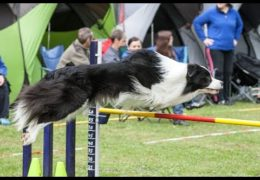 Two Talented Dog Agility Border Collies