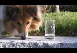 This is One Smart Shetland Sheepdog