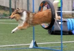 Beautiful SlowMo of Rough Collie Dog Agility