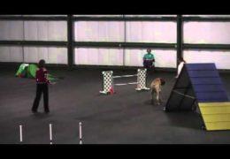 Amazing Mastiff Earns Dog Agility Title