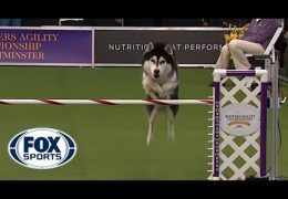 Husky Goes Off Script
