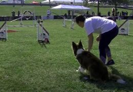 Large Dog Agility Competition