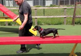 Sausage Dog Agility
