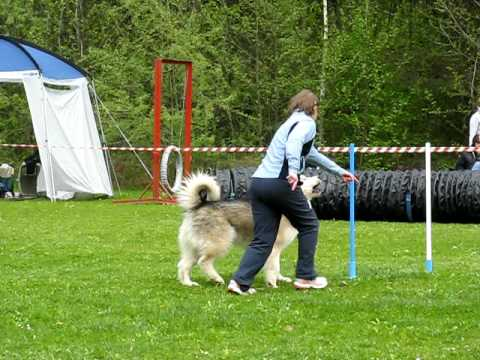 Aska the Alaskan Malamute Enjoying Dog Agility