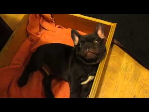 French Bulldog Pup Doesn't Want to go to Sleep