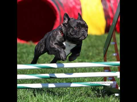 Soren, the French Bulldog of Agility Firsts Fame