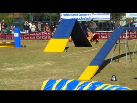 Guarana the Boston Terrier Winning Dog Agility Run