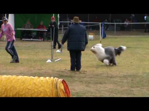 This Old English Sheepdog Loves Dog Agility and it Shows