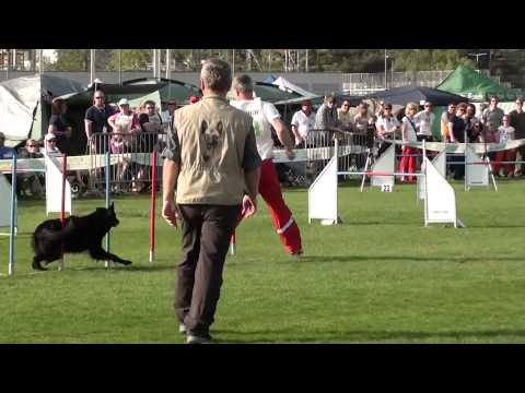 Atomic Folly is One FAST Dog on the Dog Agility Field