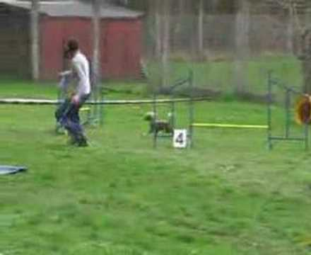 This Chinese Crested Rocks At Dog Agility