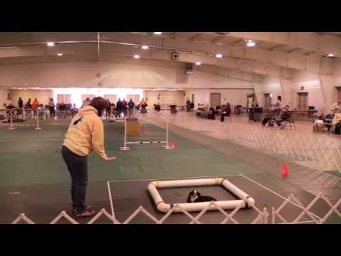 Dixie Earning Her Third Leg for UKC Agility II Title