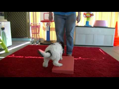 Great Dog Agility Foundation Work Demostrated By 10 Week Old Puppy