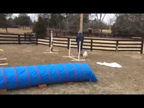 Beware! Cuteness Overload with Henry the Agility Goat