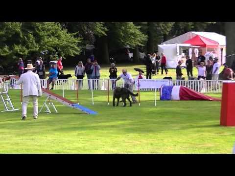 Huge Irish Wolfhound Slays This Dog Agility Course