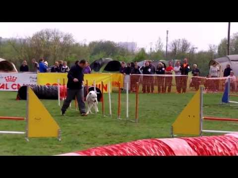 Argentinean Mastiff Soars in Dog Agility
