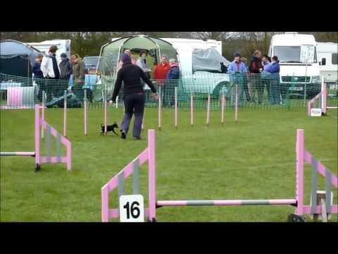 Super Tiny Miniature Pincher Loving Dog Agility